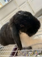Holland Lop Rabbits for sale in Moreno Valley, CA, USA. price: NA