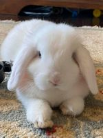 Holland Lop Rabbits for sale in Fort Mill, SC, USA. price: NA