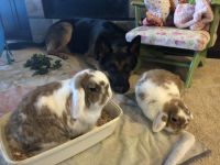 Holland Lop Rabbits for sale in Seattle, WA, USA. price: NA