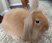 Holland Lop Rabbits for sale in Sugar Land, TX, USA. price: NA