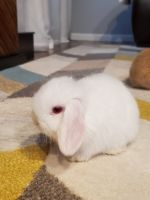 Holland Lop Rabbits for sale in 36821 Carriage Dr, Sterling Heights, MI 48310, USA. price: NA
