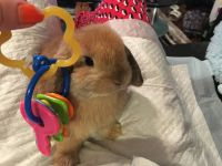 Holland Lop Rabbits for sale in Palm Beach, FL 33480, USA. price: NA