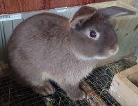 Holland Lop Rabbits for sale in Houston, TX 77083, USA. price: NA