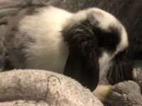 Holland Lop Rabbits for sale in Chandler, AZ, USA. price: NA