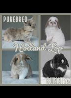 Holland Lop Rabbits for sale in Anaheim, CA, USA. price: NA