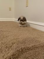 Holland Lop Rabbits for sale in New Castle, DE 19720, USA. price: NA