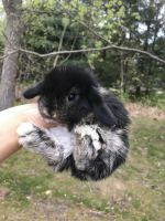 Holland Lop Rabbits for sale in Monmouth County, NJ, USA. price: NA