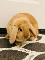 Holland Lop Rabbits for sale in Carrollton, TX, USA. price: NA
