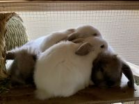 Holland Lop Rabbits for sale in Eugene, OR, USA. price: NA