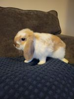 Holland Lop Rabbits for sale in Houston, TX, USA. price: NA