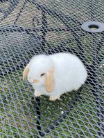 Holland Lop Rabbits for sale in Houston, TX 77089, USA. price: NA