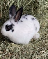 Holland Lop Rabbits for sale in Corpus Christi, TX, USA. price: NA