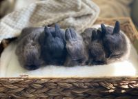 Holland Mini-Lop Rabbits for sale in Inglewood, Nashville, TN, USA. price: NA