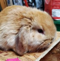 Holland Mini-Lop Rabbits for sale in Glyndon, MD 21136, USA. price: NA