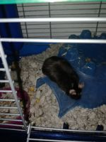 House Mouse Rodents for sale in Schenectady, NY, USA. price: NA