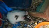 House Mouse Rodents for sale in Spokane Valley, WA, USA. price: NA
