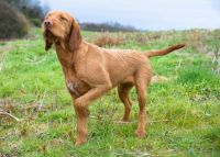 hungarian wirehaired vizsla dog
