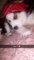 Huntaway Puppies Photos