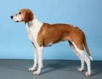 hygenhund dog