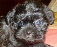 Ibizan Hound Puppies for sale in Anaheim, CA, USA. price: NA