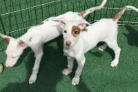 Ibizan Hound Puppies for sale in Worcester, MA, USA. price: NA