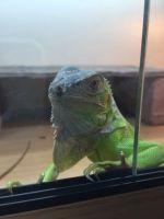 Iguana Reptiles for sale in Bakersfield, CA, USA. price: NA