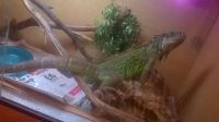 Iguana Reptiles for sale in Boulder, CO, USA. price: NA
