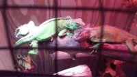 Iguana Reptiles for sale in Cincinnati, OH, USA. price: NA