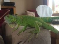 Iguana Reptiles for sale in Los Angeles, CA 90005, USA. price: NA