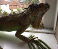 Iguana Reptiles for sale in Calistoga, CA 94515, USA. price: NA