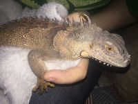 Iguana Reptiles for sale in Moreno Valley, CA, USA. price: NA