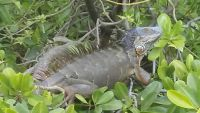 Iguana Reptiles for sale in Miami, FL, USA. price: NA