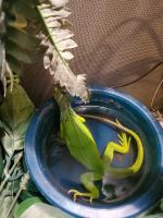 Iguana Reptiles for sale in 209 Clarke St, Johnson Creek, WI 53038, USA. price: NA