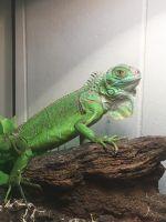 Iguana Reptiles for sale in Sparta, TN 38583, USA. price: NA