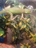 Iguana Reptiles for sale in New York, NY, USA. price: NA