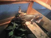 Iguana Reptiles for sale in Salem, OR, USA. price: NA