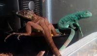 Iguana Reptiles Photos