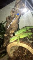 Iguana Reptiles for sale in Irving, TX, USA. price: NA