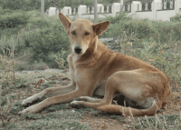 indian pariah dog dog