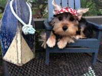 Irish Bull Terrier Puppies for sale in Pensacola Beach, FL, USA. price: NA