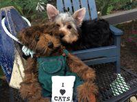 Irish Bull Terrier Puppies Photos