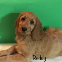 Irish Doodles Puppies for sale in Edgewater, FL, USA. price: NA