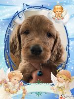 Irish Doodles Puppies for sale in Loveland, OH, USA. price: NA