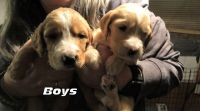 Irish Doodles Puppies for sale in Almo, KY, USA. price: NA