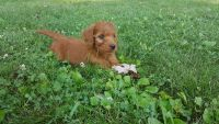 Irish Doodles Puppies for sale in Ickesburg, PA 17037, USA. price: NA