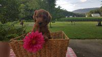 Irish Doodles Puppies Photos