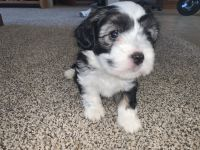 Irish Doodles Puppies for sale in Thornton, CO, USA. price: NA