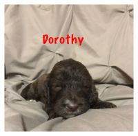 Irish Doodles Puppies for sale in Fort Payne, AL, USA. price: NA