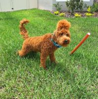 Irish Doodles Puppies for sale in Tampa, FL, USA. price: NA