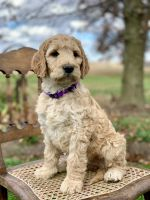 Irish Doodles Puppies for sale in Wooster, OH 44691, USA. price: NA